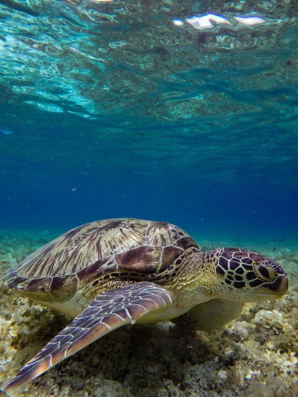scuba-diving-sea-turtle